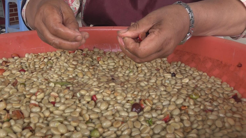 新化有機咖啡,手工採收剝豆_01